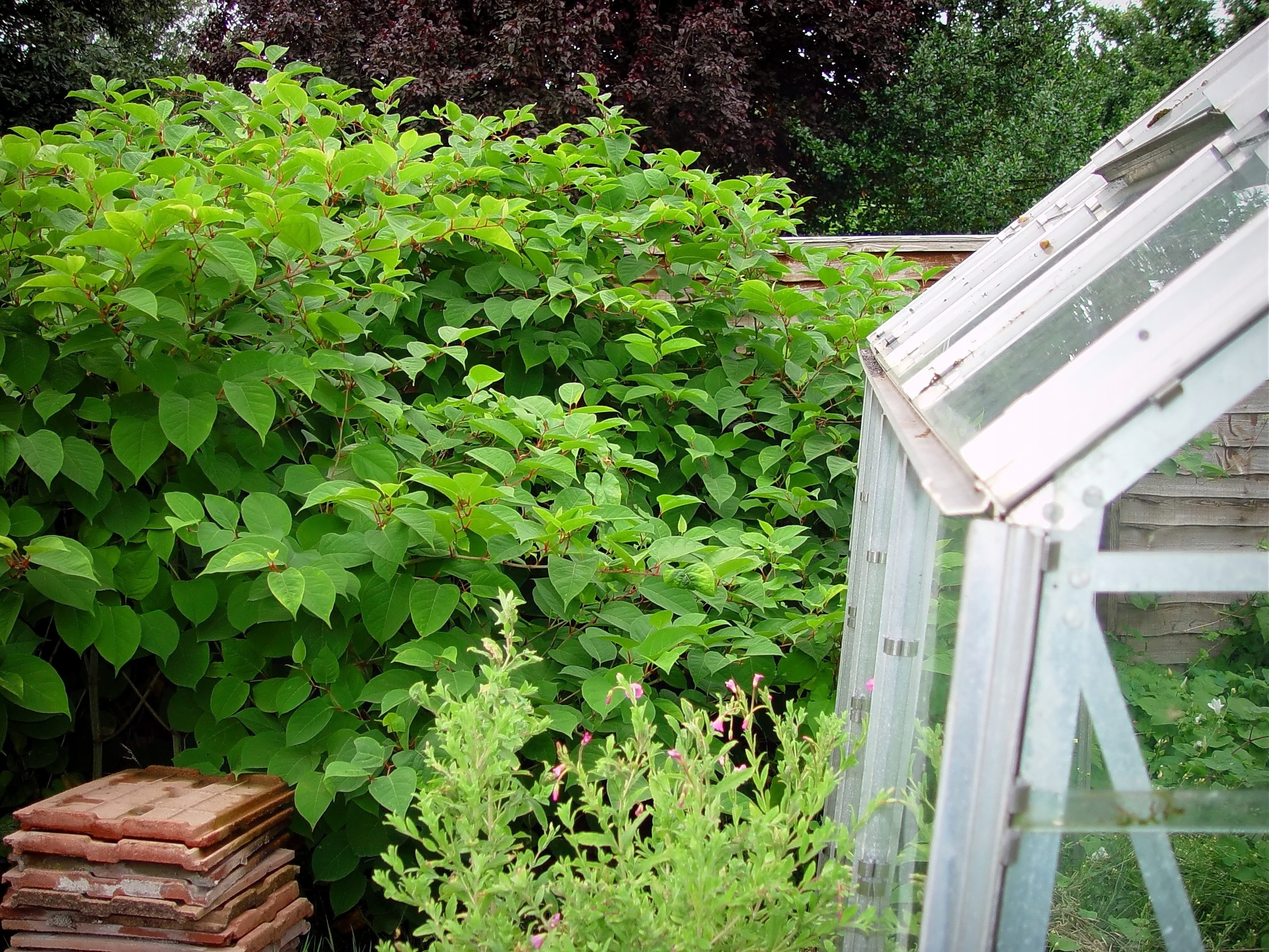 japanese knotweed removal in London, Cardiff & Bristol - cyb environmental