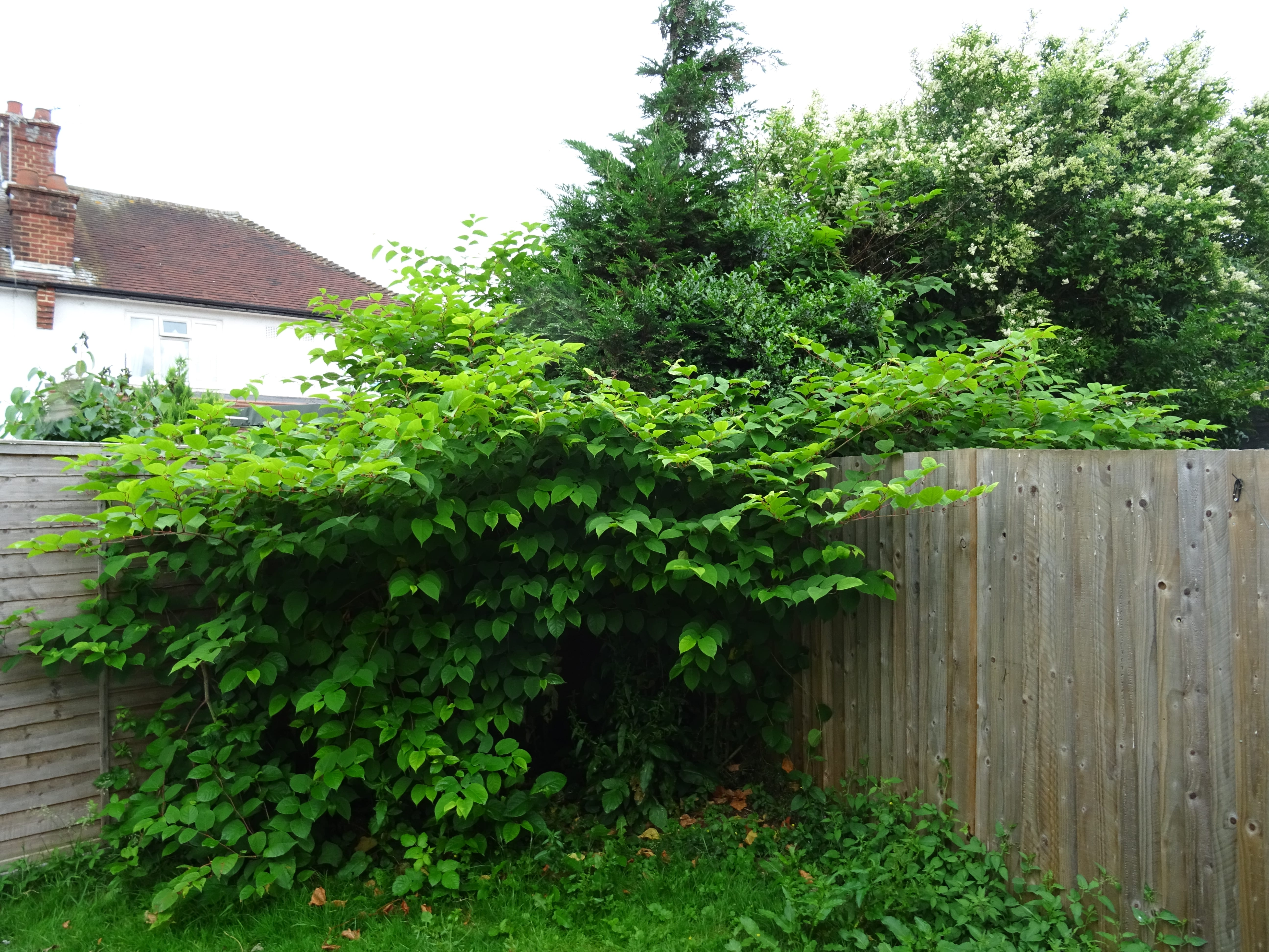 japanese knotweed removal cardiff