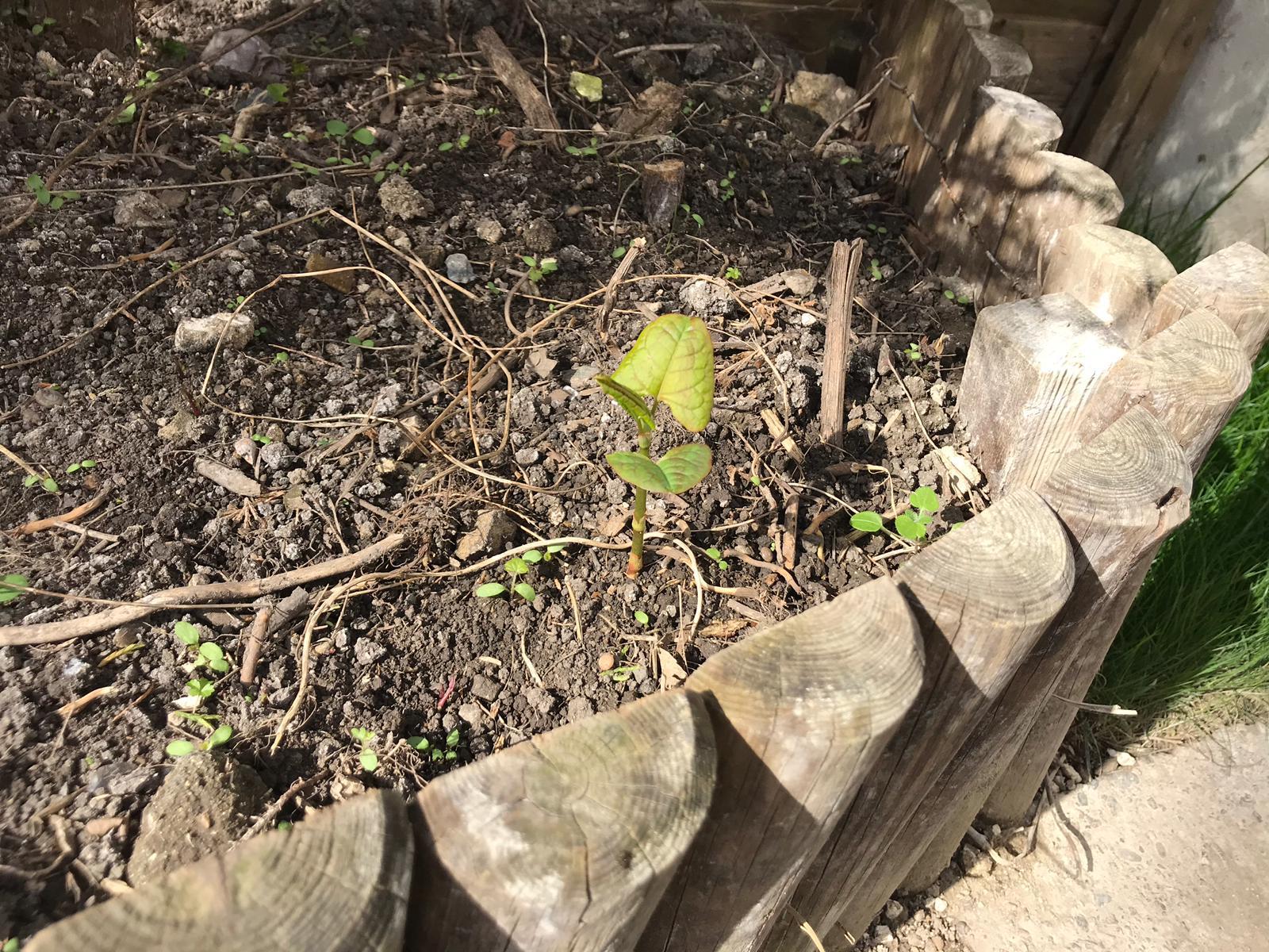 japanese knotweed removal bristol